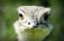 Geld verdienen door op struisvogels te passen?